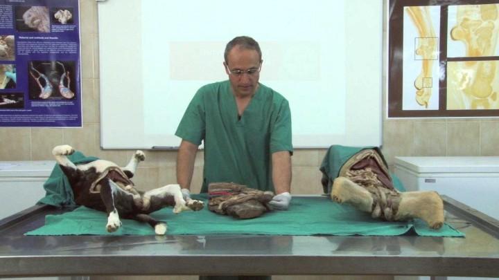 Envolturas testiculares y del cordón espermático