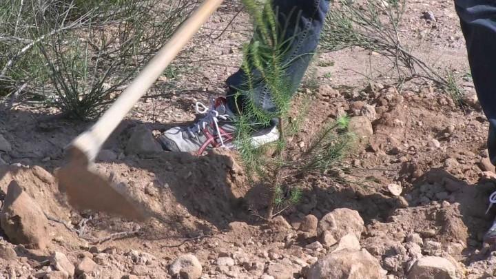 Plantación de árboles Campus de Espinardo