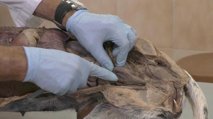 Excavaciones peritoneales. Hembra