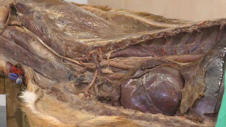 Cavidad torácica del perro. Lado izquierdo (II).
