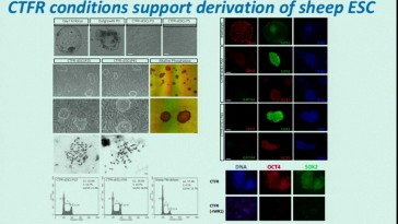 Bovine embryonic stem cells potential for in vitro gamete production. Dr. Pablo J Ross