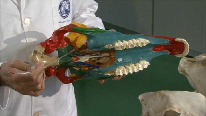 Esqueleto de la cara en équidos
