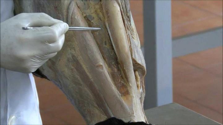 Musculatura masticadora y facial en équidos (II)