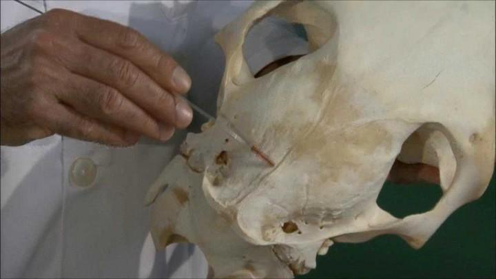 Bóveda del cráneo en équidos