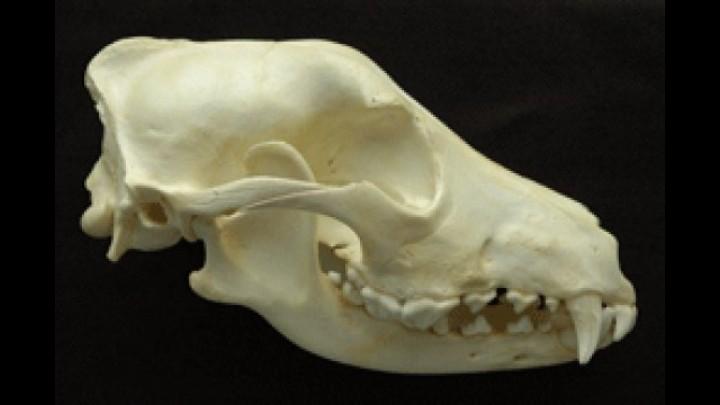 Base del cráneo en équidos