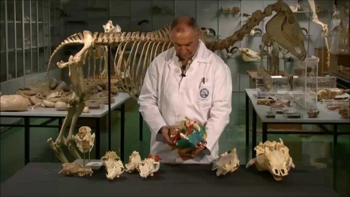Base del cráneo en bóvidos y cánidos