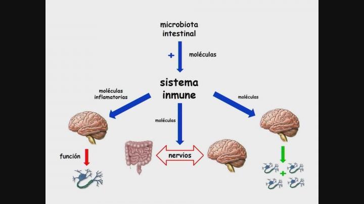Cómo nuestro intestino habla constantemente con nuestro cerebro