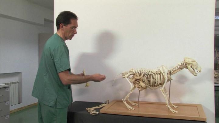 Esqueleto del miembro pelviano en cánidos: fémur