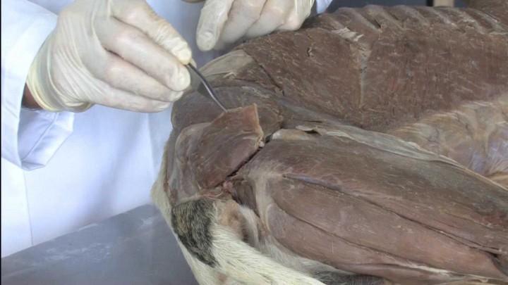 Musculatura intrínseca superficial del Miembro Pelviano del perro: plano topográfico lateral. Principales estructuras vasculares y nerviosas